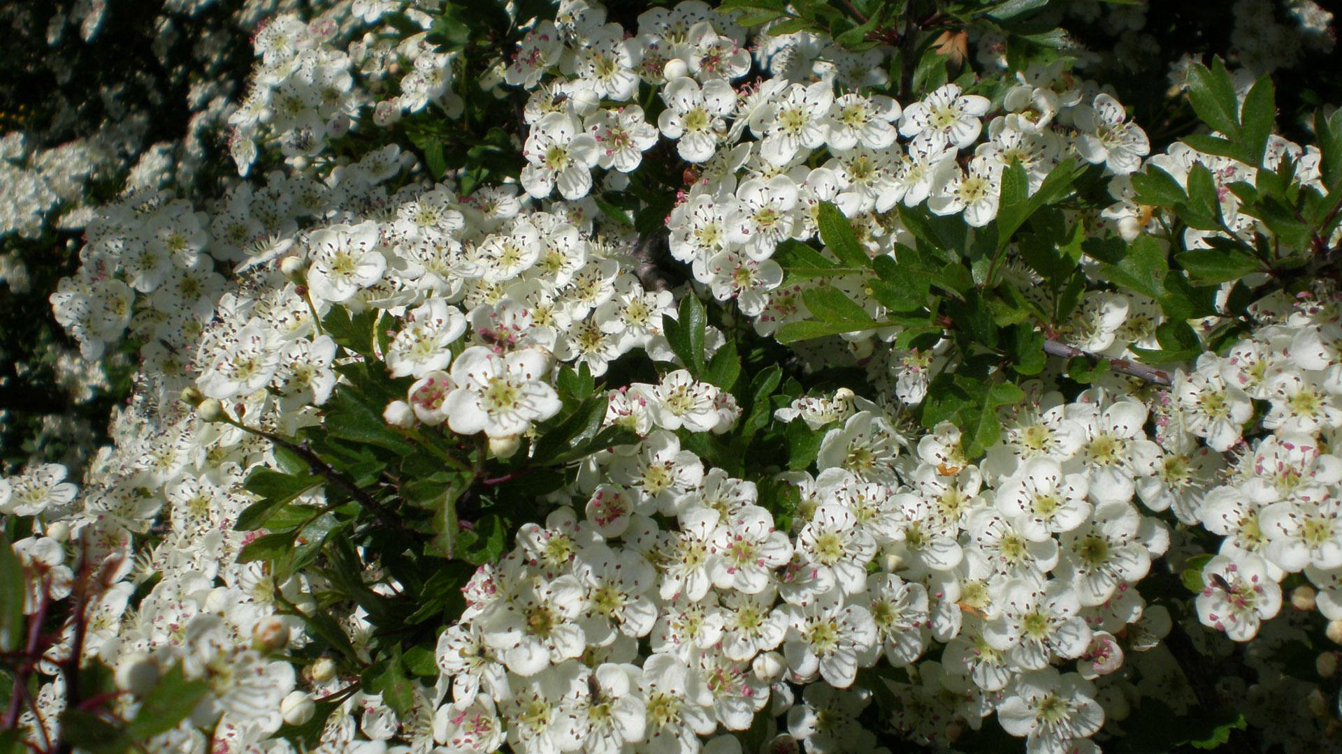 Fiori e foglie e bacche del biancospino